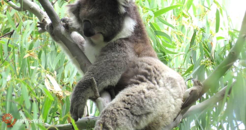 koalas are useful to other animals