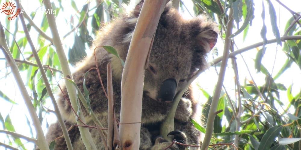 10 year old female koala