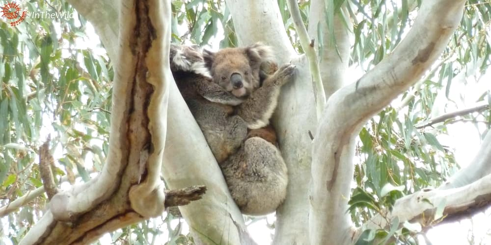 older female koala with joey