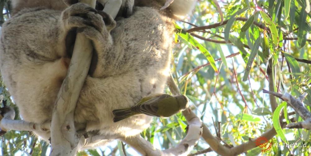 is koala fur useful to other animals
