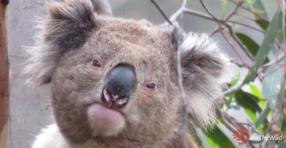 About Koala Wooloomanata