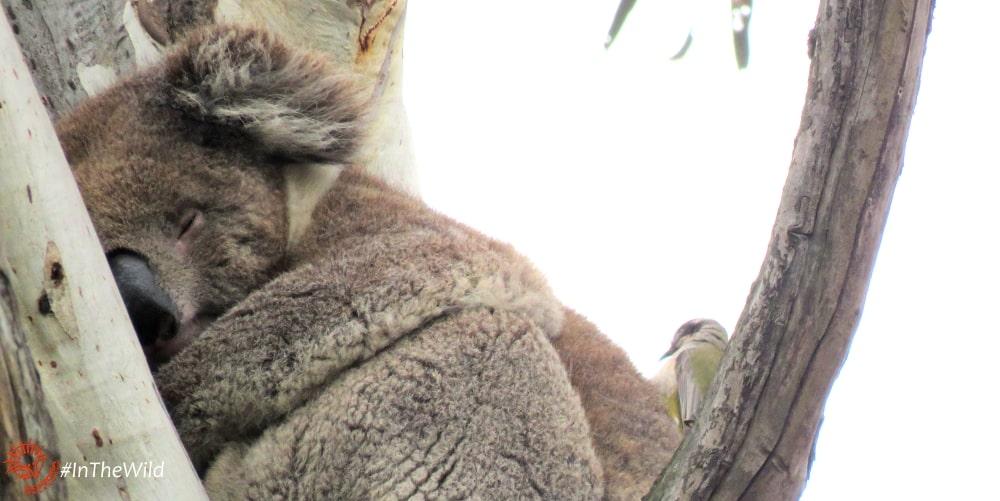 purpose of koalas