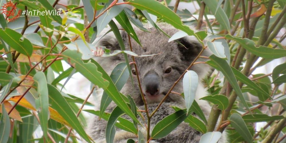 About Koala LuLu
