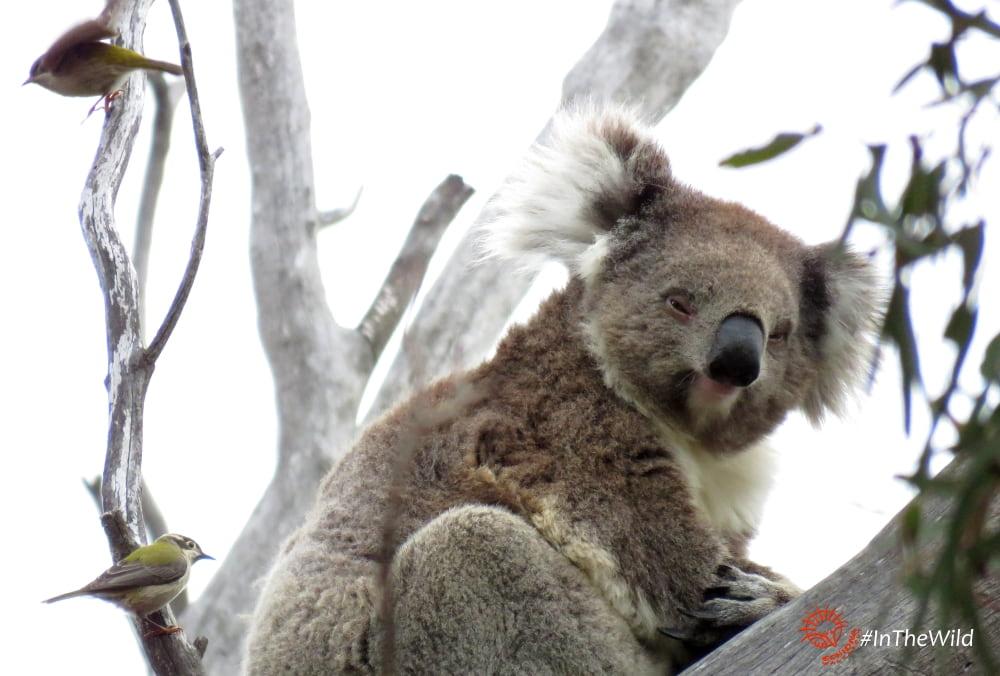 koala brown-headed honeyeaters
