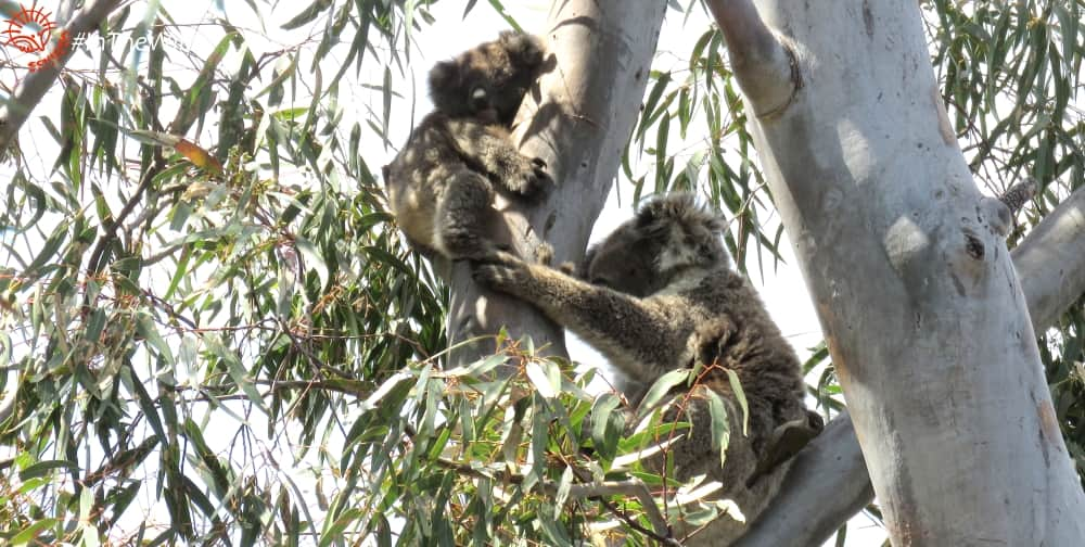 are koalas useful to other animals