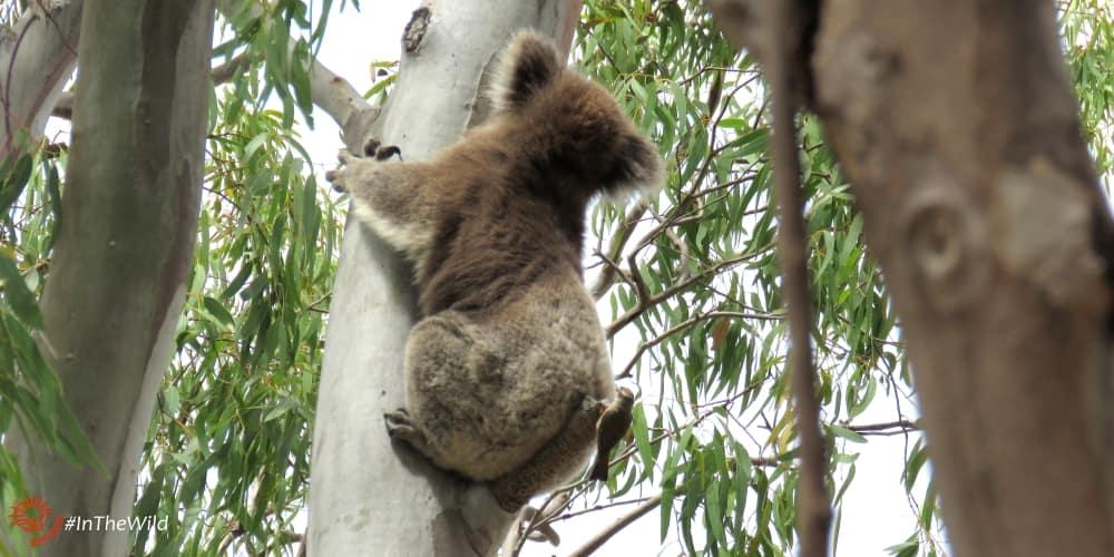 what purpose do koalas serve to nature