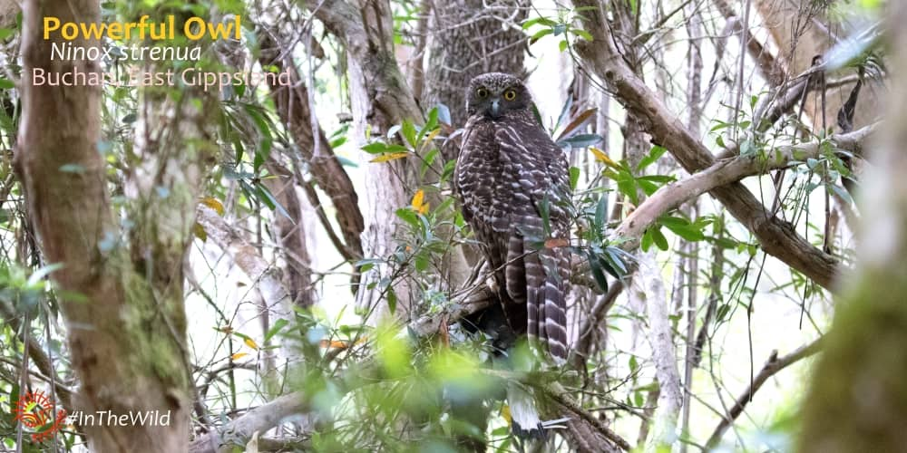 powerful owl seen on 4 day tour australia