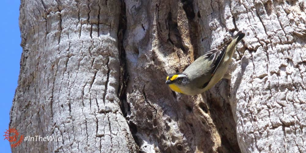 Wildlife Journey 4 day safari tour pardalote on tree