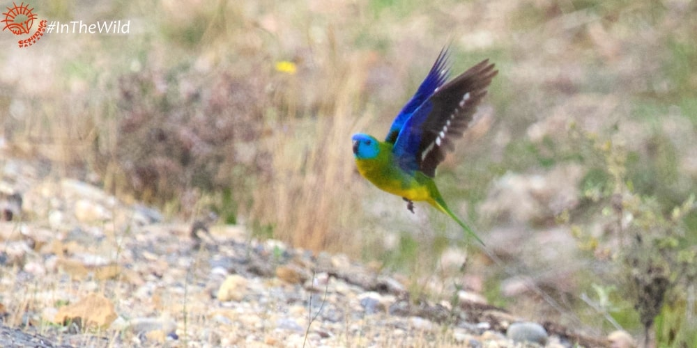 Wildlife Journey 4 day safari tour Turquoise Parrot
