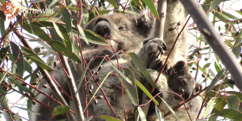 first emergence of koala joey