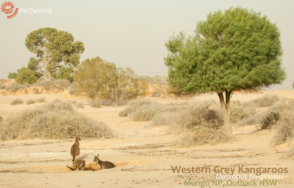 where to photograph kangaroos outback