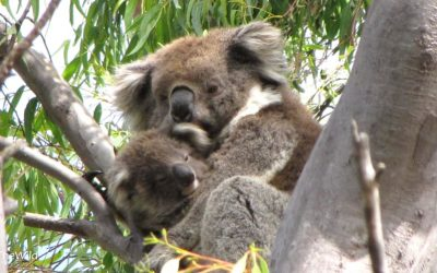 About Koala Carninje