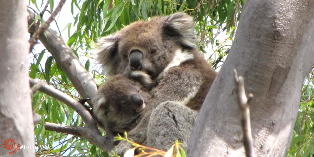 female koala with joey