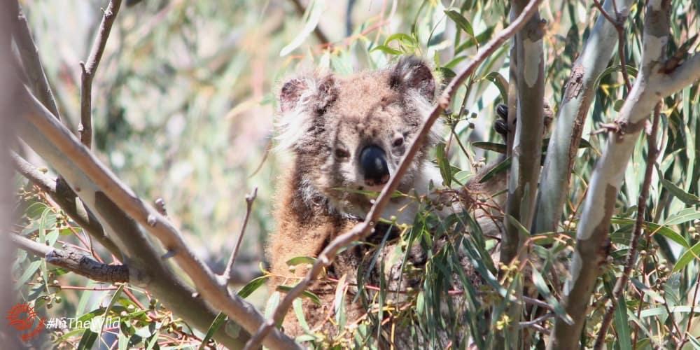 older female koala