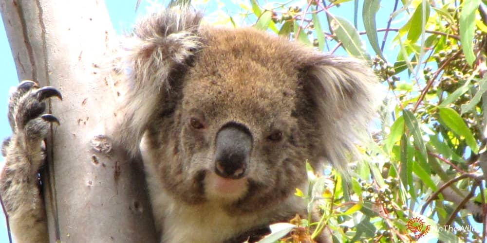 older female koala