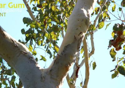 deciduous eucalyptus leaves Top End Northern Territory