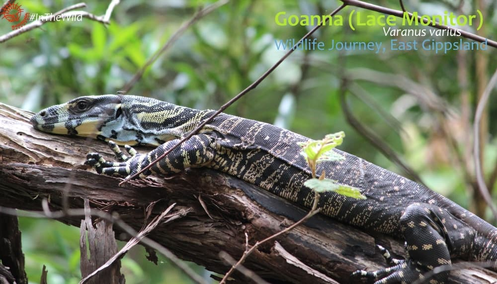 goanna on 4 day tour Australia