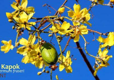 yellow kapok cochlospermum fraseri flowers leafless