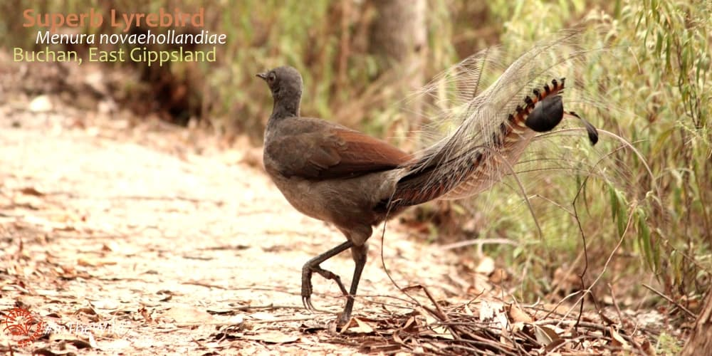 lyrebird overnight tour australia