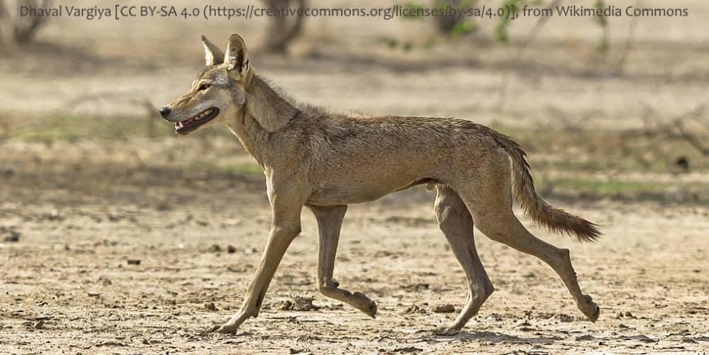 are dingoes related to Indian / Asian Wolves