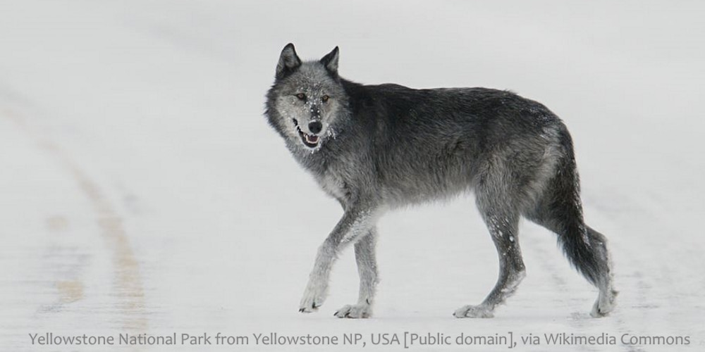 are dingoes a subspecies of Grey Wolf