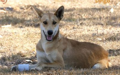 Cute and Playful Young Dingo