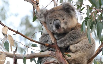 About Koala Merle