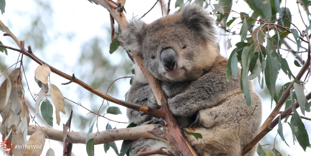 long-term koala data