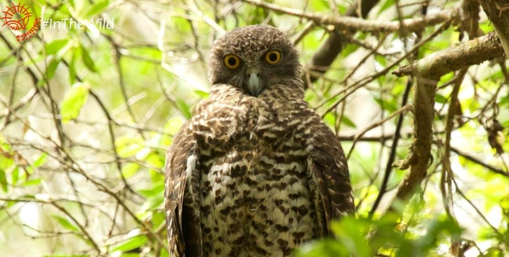 Wildlife East Gippsland January 2018 Powerful Owl