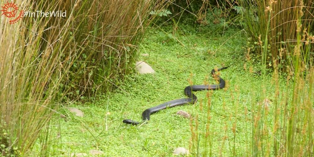 Wildlife East Gippsland January 2018 Red-bellied Black Snake