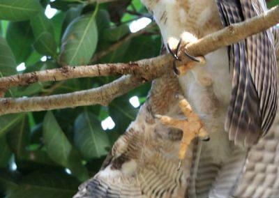 rufous owlet George Brown Botanic Gardens
