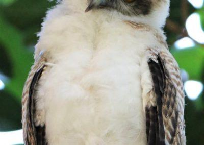 ninox rufa chick cute owlet