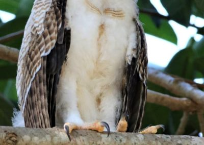 rufous owlet eyes closed cute