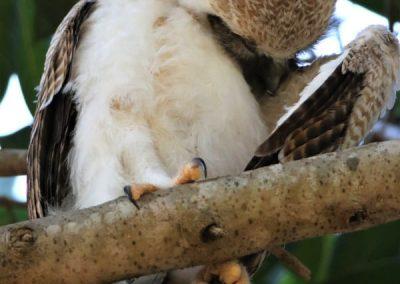 owl chick preening