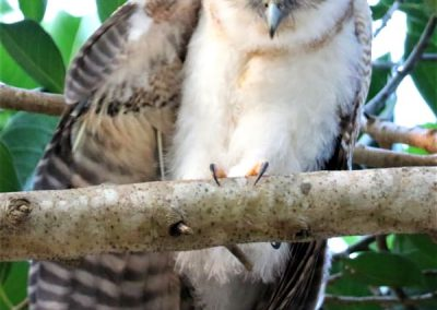 rufous owlet Northern Territory Australia