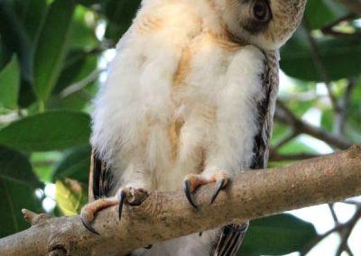 rufous owlet