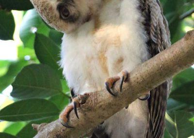 rufous owl chick darwin wildlife