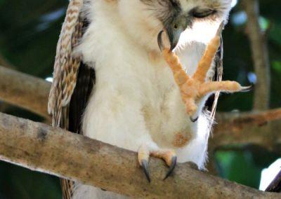 rufous owlet preening foot