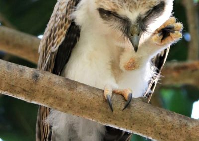 rufous owl chick preening