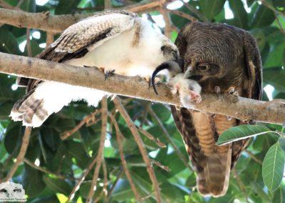 rufous owlet adult sharing mammal prey