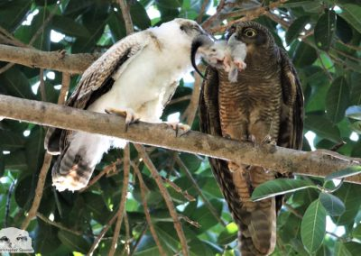 ninox rufa chick adult with possum