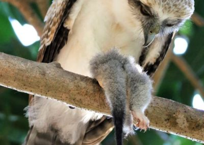rufous owlet with possum prey