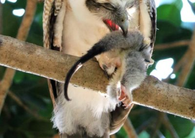 rufous owl chick eating northern brushtail possum