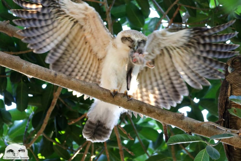 rufous owlet holding brushtail in beak