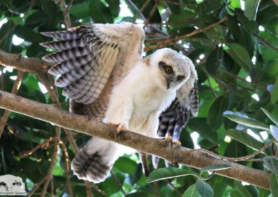 rufous owlet on fig branch