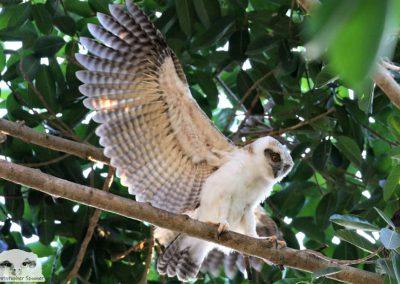 ninox rufa chick wing underside