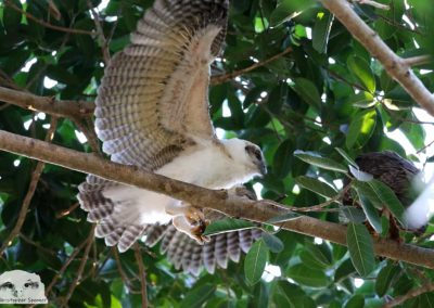 rufous owl chick wings spread
