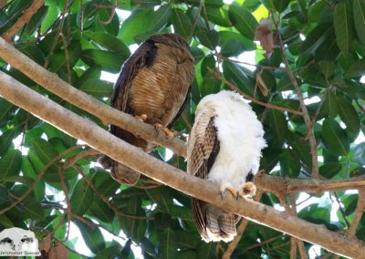 rufous owl chick adult sleeping together on branch