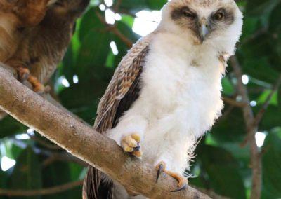 rufous owl chick 2018 Darwin