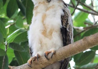 rufous owlet sleeping